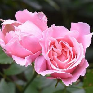 梅雨明け間近のバラのパチパチ撮り!