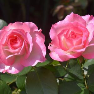 8月のバラ ストロベリーアイス&パレード‥‥!