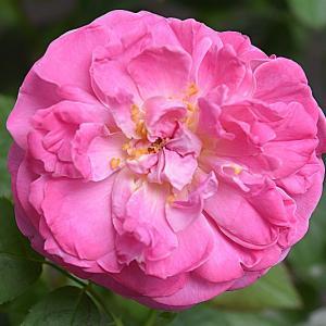 8月のバラ ピンクサクリーナ & ピンクアイスバーグ・・・♪