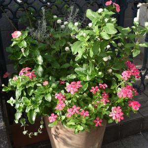バラの花が少なくなって‥寄せ植えです!