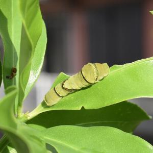 アゲハチョウ幼虫の6日間!