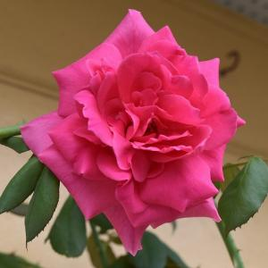 9月のバラ パレードが一輪咲いた!
