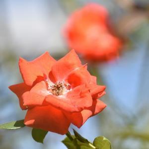 9月のバラたち!