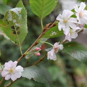 十月桜が満開 & 綿花子で綿作り!