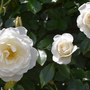 2021年 バラの開花の32番目 「アイスバーグ」