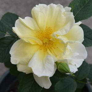 2021年 バラの開花の38番目 「ハマナス黄」