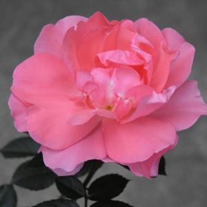 2021年 バラの開花の51番目 「ジャルダン ドゥ フランス」