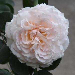 2021年 バラの開花の52番目 「メルヘンツァウバー」