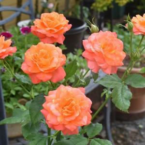 梅雨前の庭のバラ!