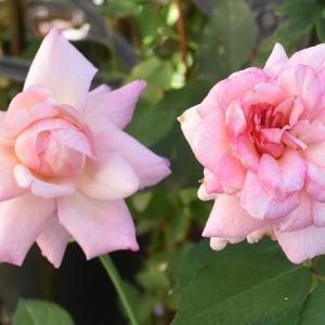 ピンクの花になった「グルスアンアーヘン」!