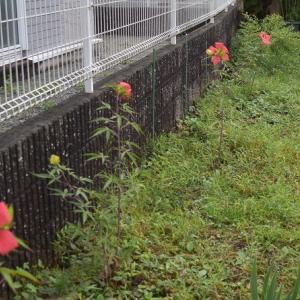 小さい秋見つけた♪ ムラサキシキブが色付きました