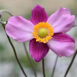 秋の気配が‥ シュウメイギクが咲きました!