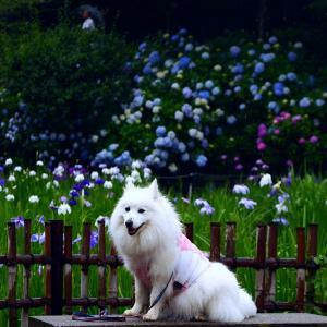 #今時の花 紫陽花と菖蒲