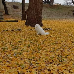 朝の散歩 イチョウの葉
