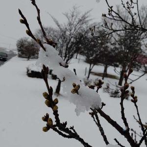 桜のつぼみと雪