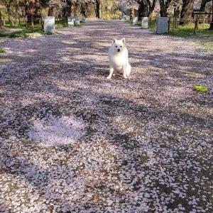 4月25日 また桜咲いてた