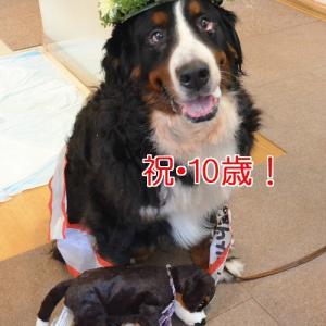 憧れのバニの10歳☆お友達のパズちゃんおめでとう!