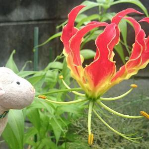 ぬいの休日 ~ひつじのお花日記:グロリオサ♪