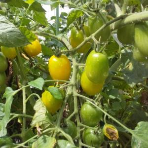 トマトめっちゃ豊作