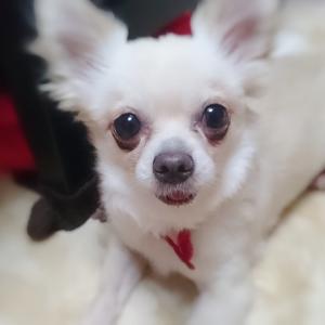 犬のお腹のしこり・ごはんを食べない・黄疸・貧血など:ビデオ電話相談の様子を大公開!