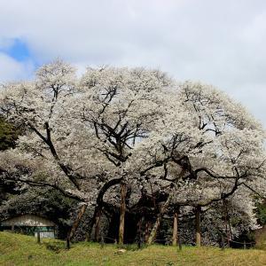 太田市三隅町の三隅大平桜を見に