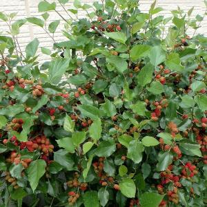 ヤマグワ(マルベリー)の収穫