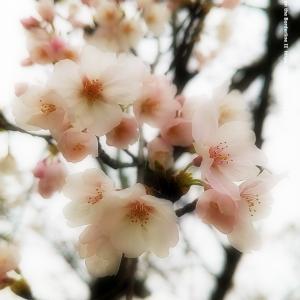 桜花 2020 その2