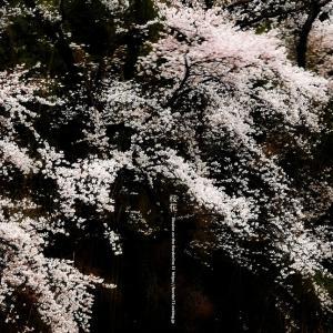 桜花 2020 その3