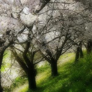 桜花 2020 その4