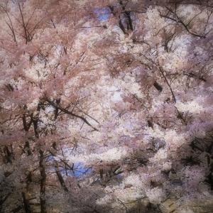 桜花 2020 その6