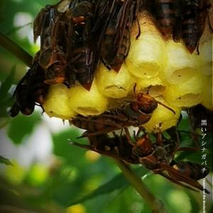 黒いアシナガバチ