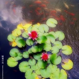 睡蓮の花 その2