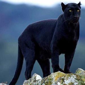 スペイン、グラナダ州内で見かけられた放し飼いの黒豹の謎???!