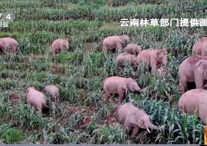 中国で北進するゾウの群れとそれを追うスペインの研究者!!