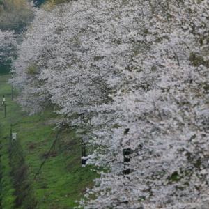 へいちくの桜(1)