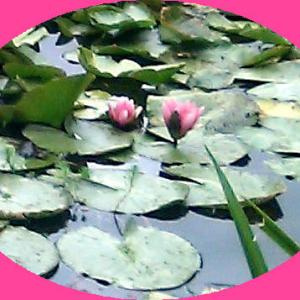 『秘すれば花」睡蓮の季節に…