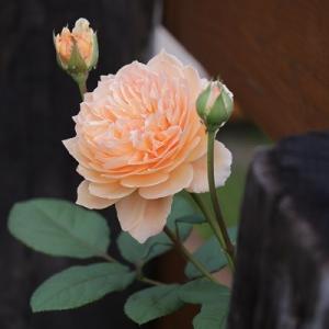 【秋の庭】バラの返り咲き&今季最後のドライフラワー作り