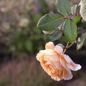 【ガーデニング】刈り込んだ最後の花の艶やかさ&冬囲い