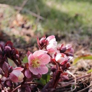 【ガーデニング】北国の早春の庭と春植え球根♪&お買い物マラソン