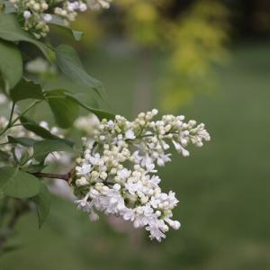 【ガーデニング】白い花のリレー&お買い物マラソンで買った素敵なガーデンオブジェ