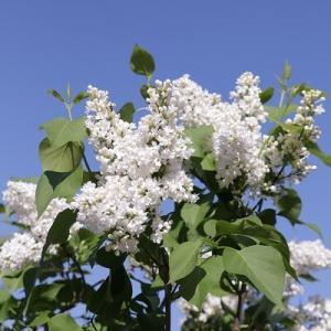 【ガーデニング】木の花&楽天スーパーセールはこれをポチ♪