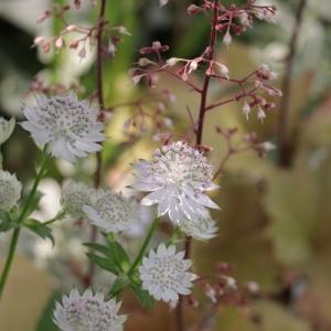 【ガーデニング】花好きが推す一番好きな宿根草!