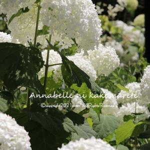 【ガーデニング】今夏のアナベルの風景は!
