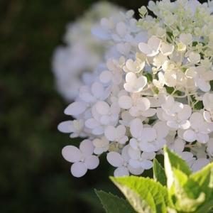 【ガーデニング】6回目の夏でようやく!#咲かないを#咲いたに出来た純白の花♪