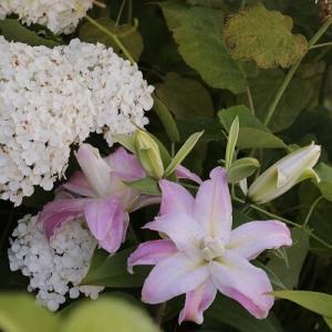 【ガーデニング】庭中おかげでいい香り♪その香りに酔いしれる夏の朝!!