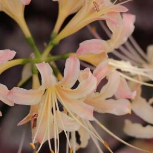 【ガーデニング】葉がない状態で咲く花は秋を知らせてくれました!