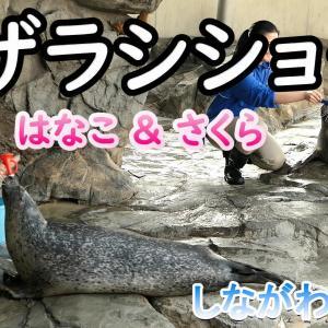 【しな水】アザラシショーで活躍するハナコとサクラ【動画】