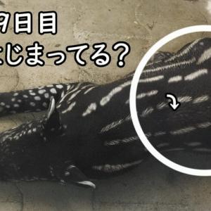 【日本平動物園】赤ちゃんマレーバクの名前が決定!【動画】