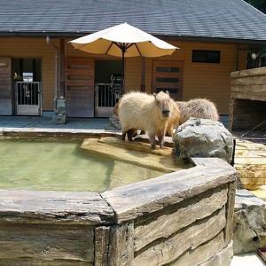 【日本平動物園】カピバラの習性【動画】