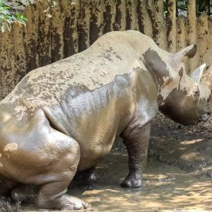 【日本平動物園】泥浴びをするサイ【動画】